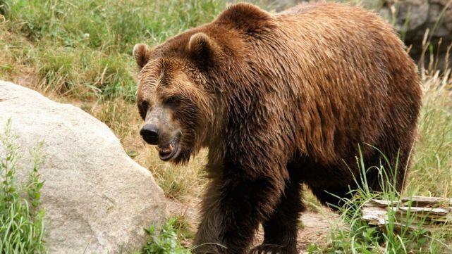 Decapitaron a oso para que deje de morder la pierna de un hombre