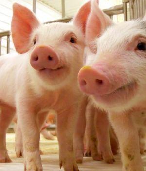 Corazones de cerdos podrán ser trasplantados a humanos en 3 años