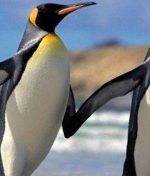 La pareja de pingüinos homosexuales le dio una hermosa noticia al mundo